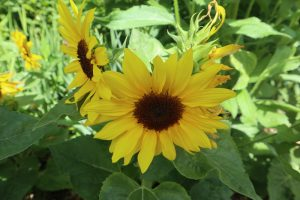 Microsun sunflower
