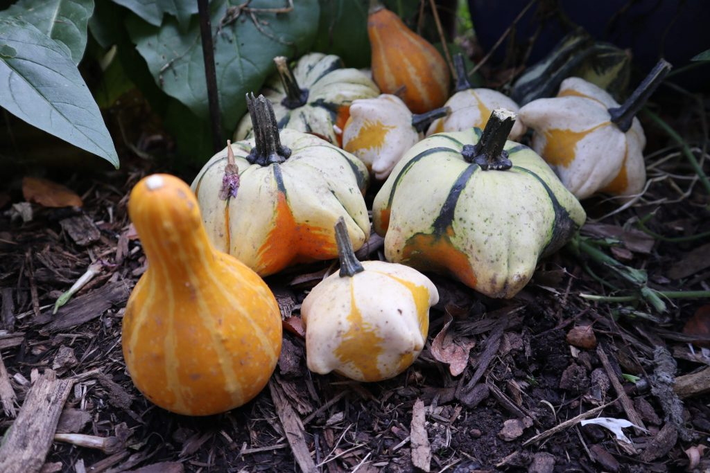 gourds in garden
