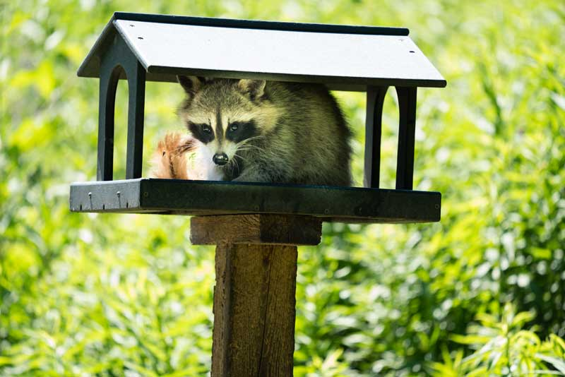 raccoon in bird feeder PC: Jamez Picard on Unsplash