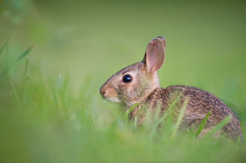 rabbit in grass PC: Ray Hennessy on Unplash