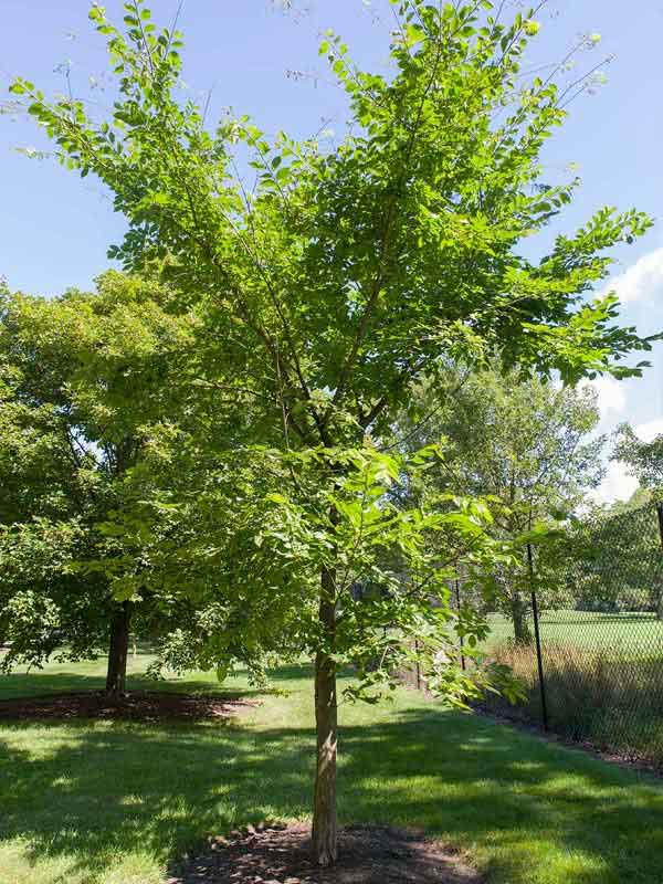 Valley Forge Elm