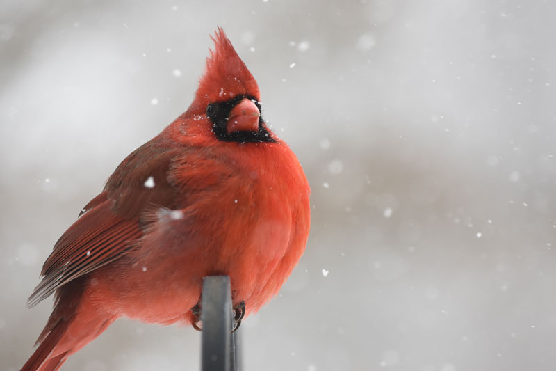 red cardinal in snow PC Chris Chow on Unsplash