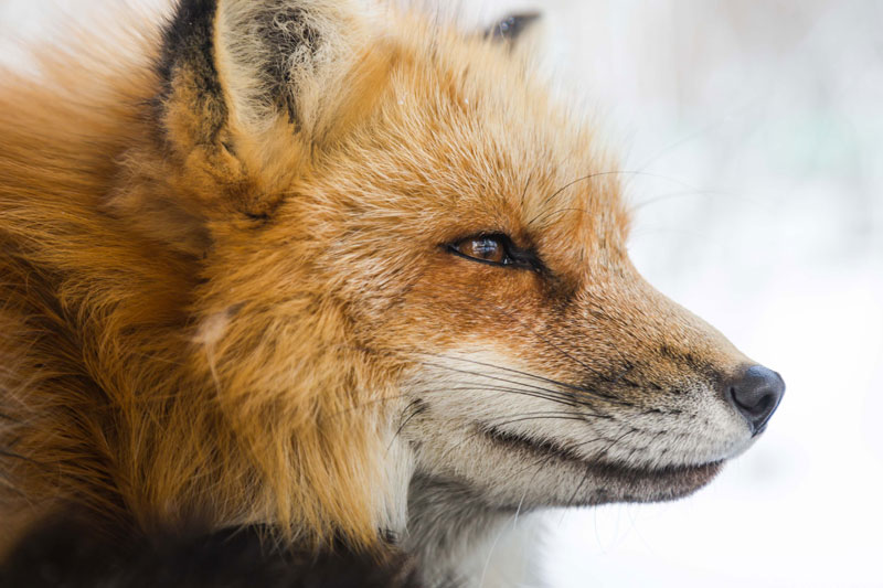 red fox in snow PC Howling Red on Unsplash