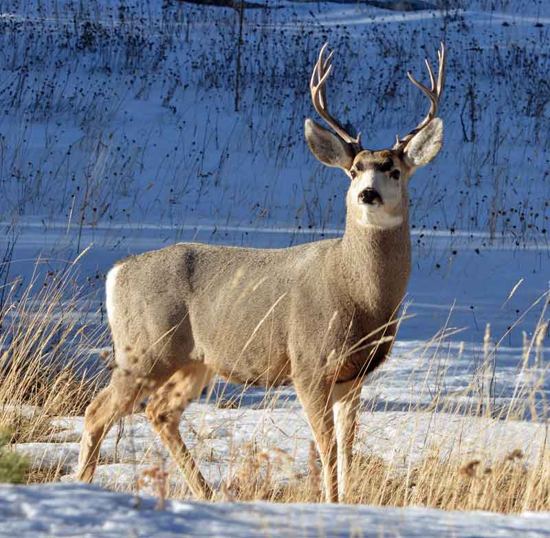 male deer with antlers in snow covered field Photo by Steve Adams on Unsplash