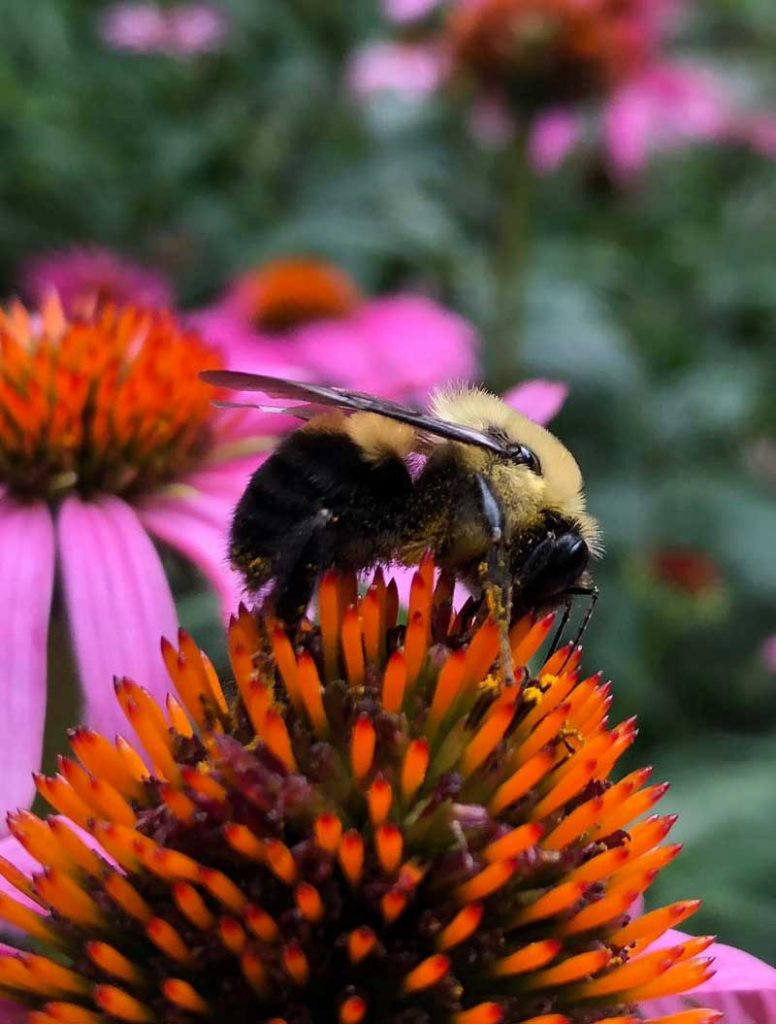 bee on flower PC Chad Krause