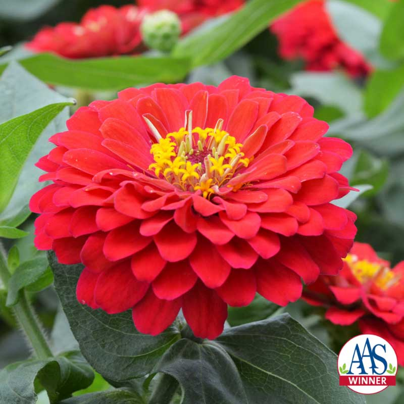 red zinnia PC: all-america selections