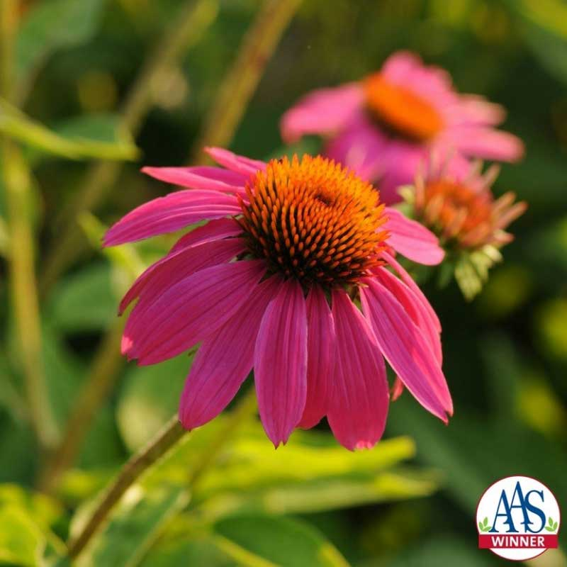 purple coneflower PC: all-america selections