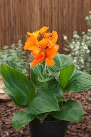 South Pacific Orange canna lily