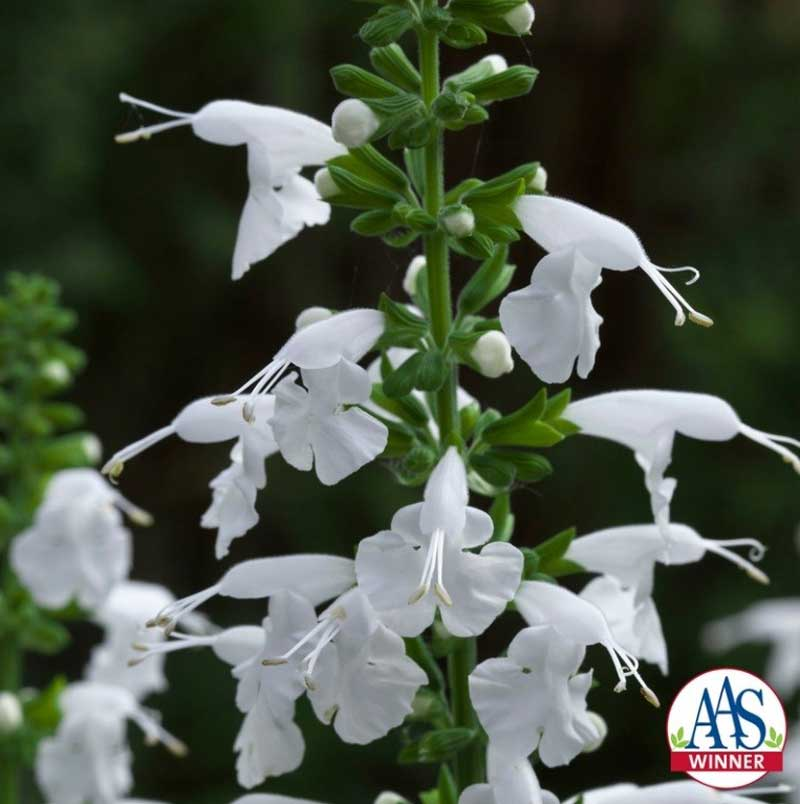 white salvia PC: all-america selections