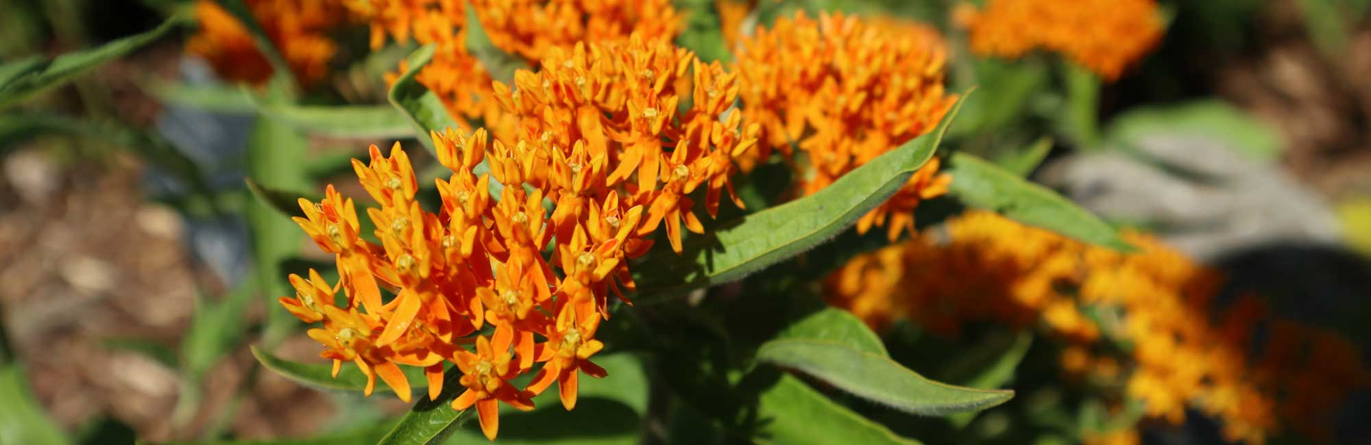 6 Blooming Natives for Our Pollinators