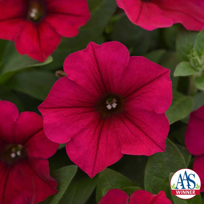 Wave® Carmine Velour Petunia PC: All-America Selections