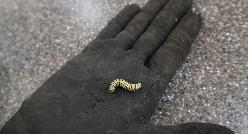 Monarch caterpillar on black glove