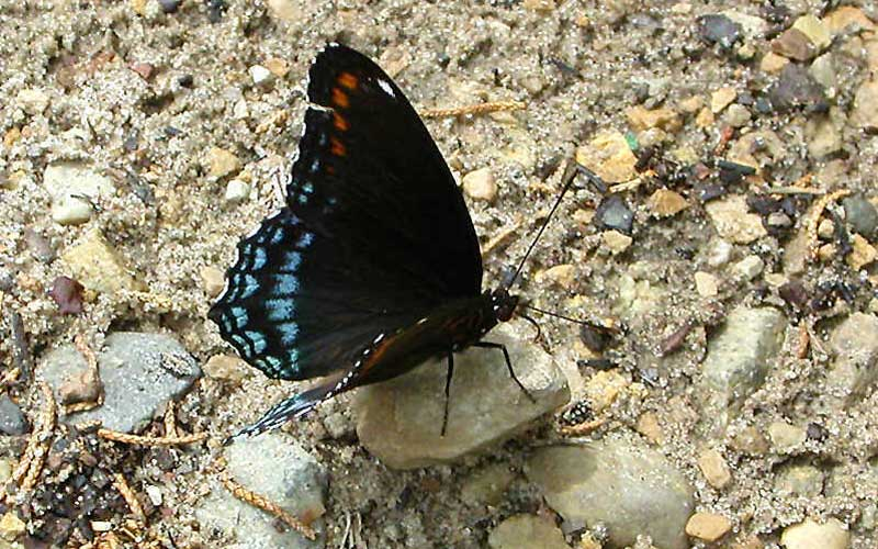 Red Spotted Purple PC wisconsinbutterflies.org