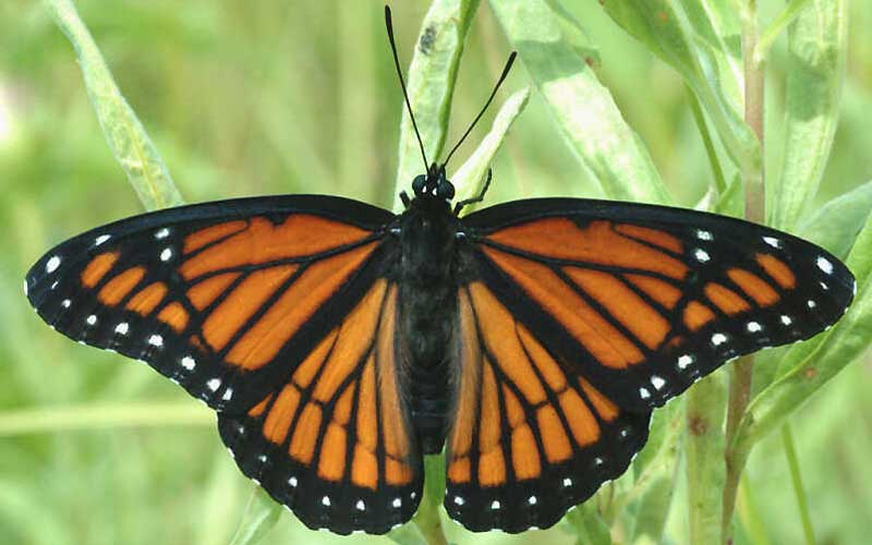 Viceroy PC wisconsinbutterflies.org