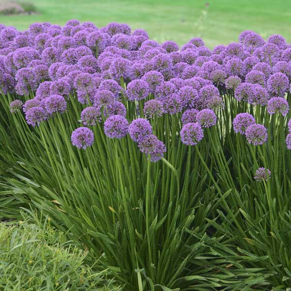 Allium Ornamental Onion PC Sugar Creek Gardens