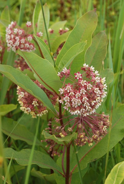 common milkweed plant PC Wood Thrush Natives