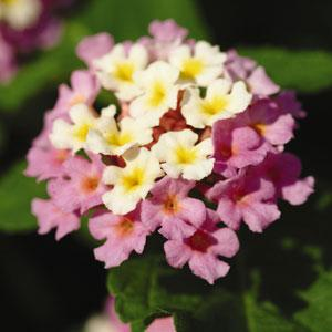 Landmark Rose Glow Lantana flower PC Ball Seed