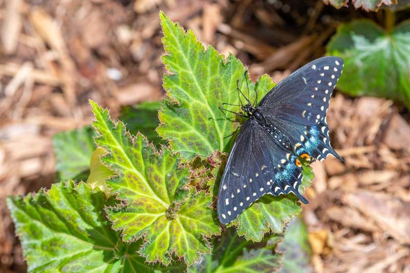 black swallowtail PC John Oates Photography