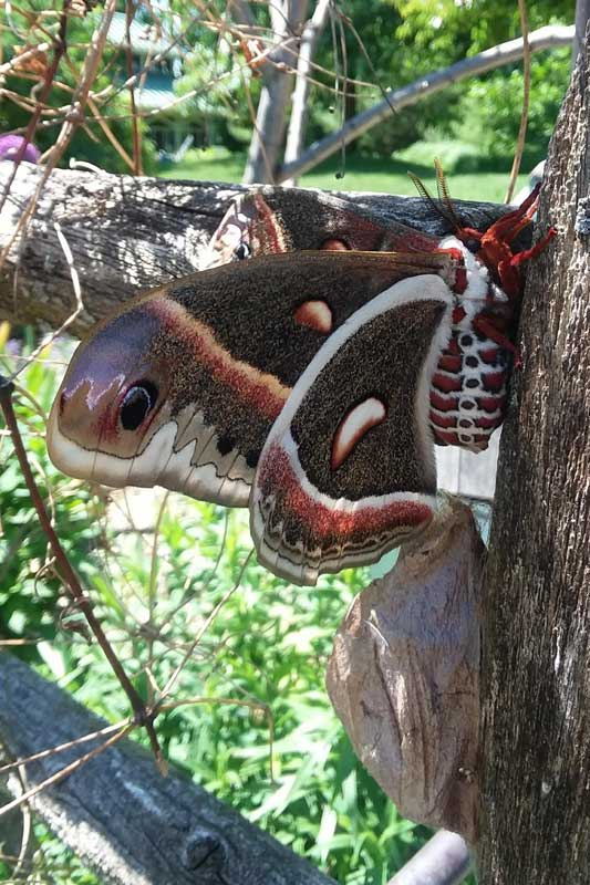 crecopia moth with cocoon
