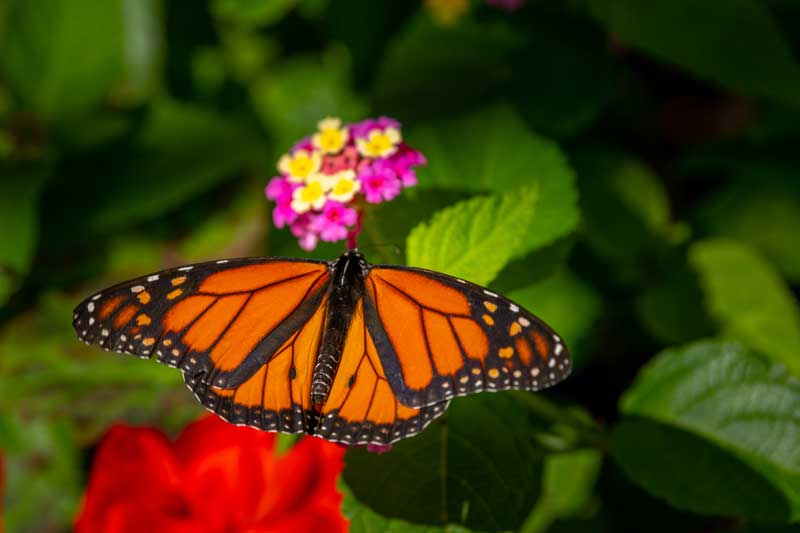 Gardening Hot Topics: Building a Butterfly Sanctuary @ Green Bay Botanical Garden