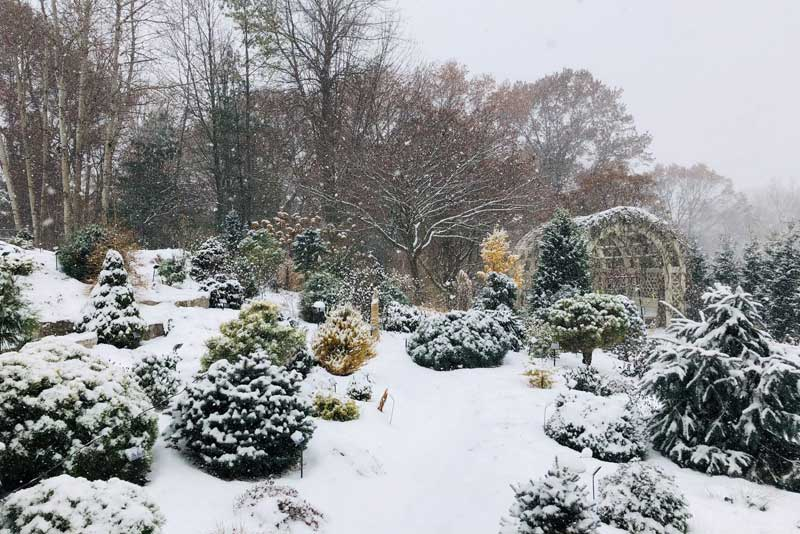 dwarf conifer trees covered in snow