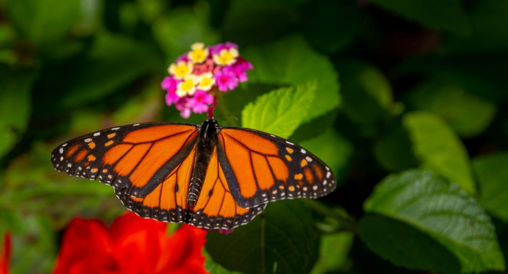 monarch butterfly on pink and yellow flower