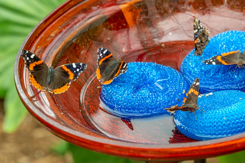 red admiral butterflies in feeding dish