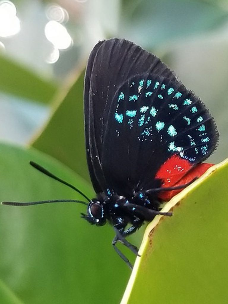 black, blue and orange Atala butterfly on green leaf