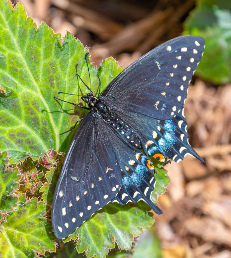 blue, yellow and Black Swallowtail butterfly on green leaf