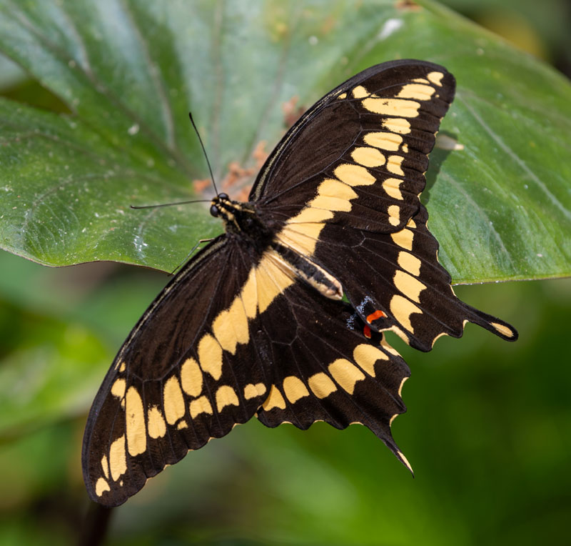 black and yellow Giant swallowtail butterfly on green leaf