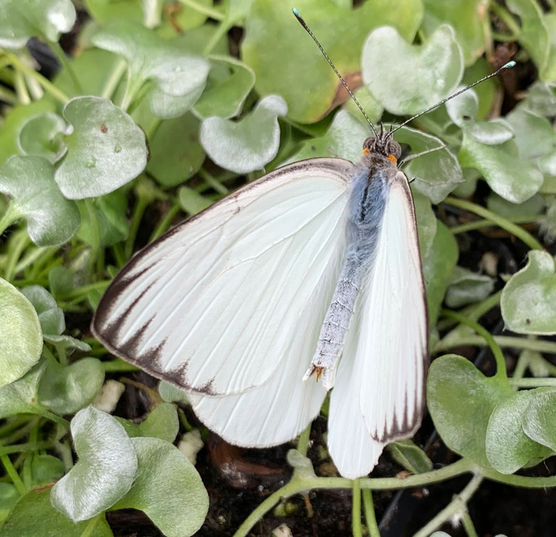 Great Southern White butterfly on green leaves