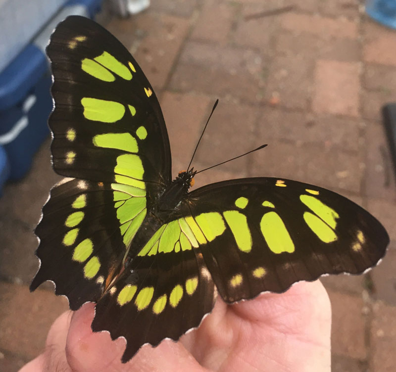 Black and green Malachite butterfly