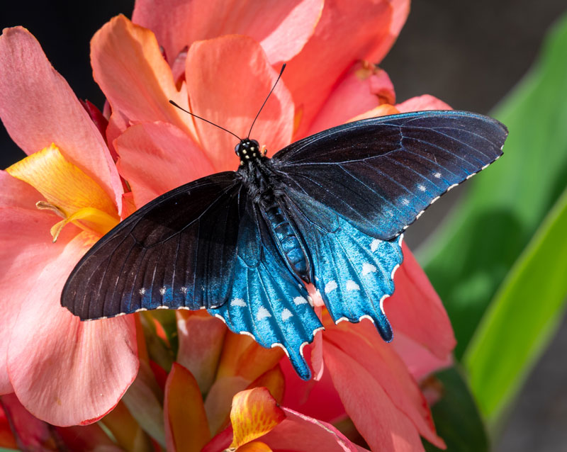 bright blue and black Pipevine Swallowtail butterfly on pink flower