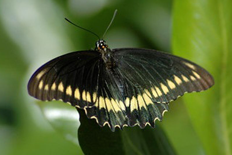 yellow and black Polydamas Swallowtail butterfly on green leaf