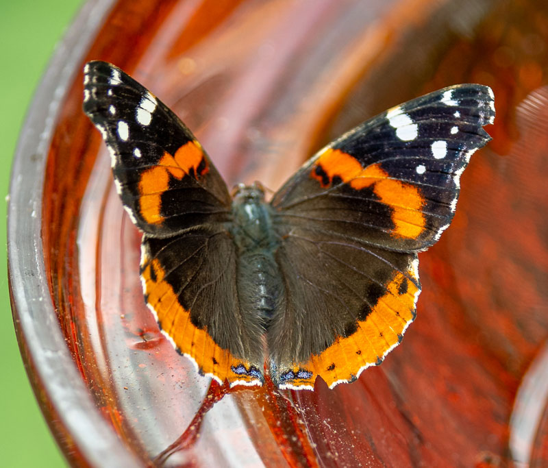 Orange, black, white spotted Red Admiral butterfly on glass dish