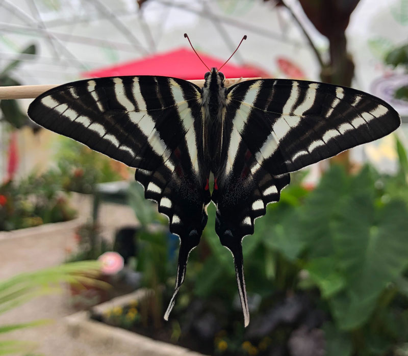 white and black Zebra Swallowtail butterfly